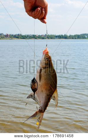 Bream on a hook out of the water