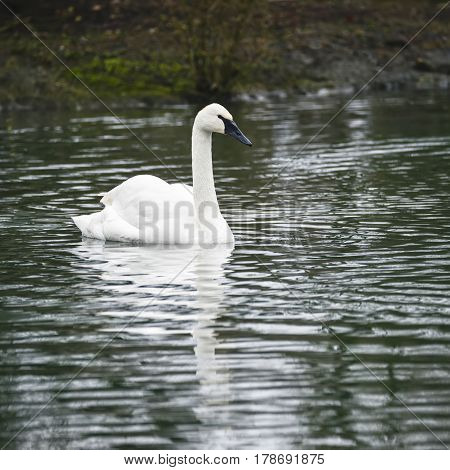 Eautiful Portrait Of Trumpeter Swan Cygnus Buccinator On Water In Spring