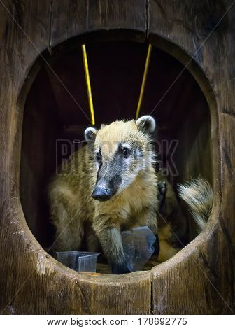 Cute Coati, Wild Animal Looking Like Raccoon, Couple Of Cute Animals