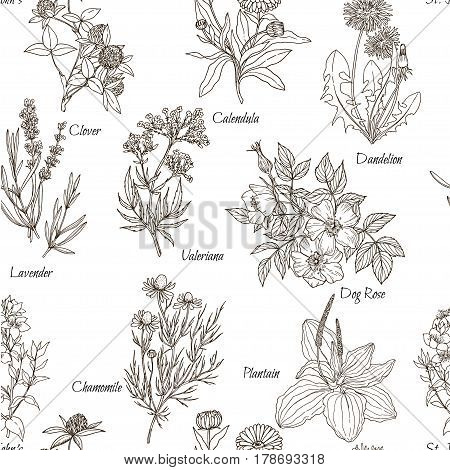 Vector seamless pattern, white background and named medicinal herbs and flowers, vintage sketch, retro style, botanical illustration, hand-drawn. echinacea, chamomile, lavender, calendula, clover, dandelion, st john's wort, plantain, dog rose and valerian