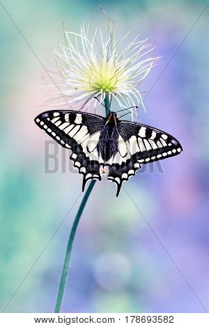 Beautiful lemon butterfly likes to eat nectar in my garden