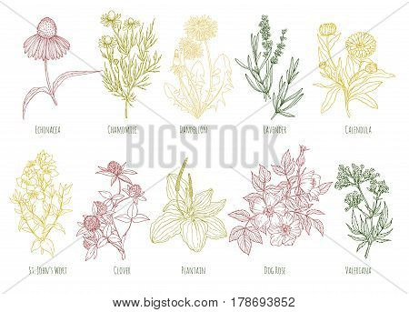 Vector vintage set of ten colored medicinal herbs, including echinacea, chamomile, lavender, calendula, clover, dandelion, st john's wort, plantain, dog rose and valeriana. Sketch style, engraving.