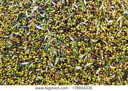 Green and black olives after harvest in Peloponnese, Greece