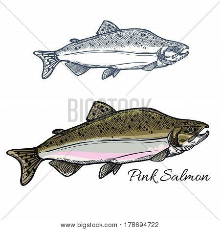Pink salmon fish sketch. Humpback salmon in spawning phase with gray back and light belly isolated icon for fishing sport, fish market label and seafood packaging design