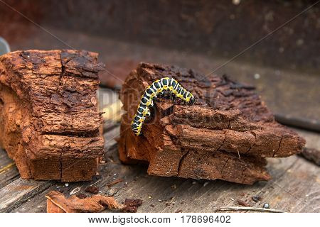 Beautiful caterpillar creeps on piece of old brown wood. Caterpillar of the Old World Swallowtail (Papilio machaon) a butterfly of the family Papilionidae. The butterfly is also known as the common yellow swallowtail or simply the swallowtail.