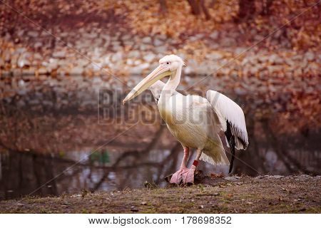 Pelican bird with pink beak near the lake in autumn park, natural background