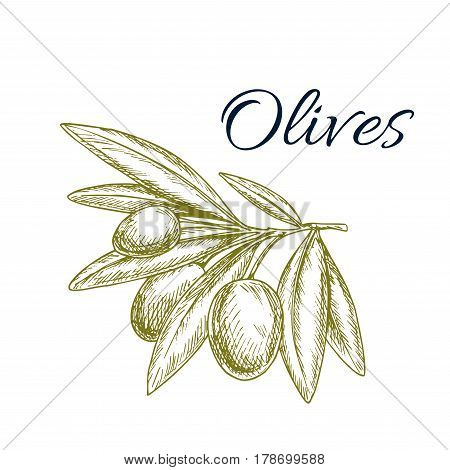 Green olives isolated sketch. Olive tree branch with ripe fruit and pointed leaves symbol. Natural organic olive fruits for oil label, italian and greece cuisine recipe, vegetarian food themes design