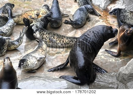 Seals - pinnipeds sea animals. Aquatic mammals seal lives mainly in the Northern and Arctic oceans.