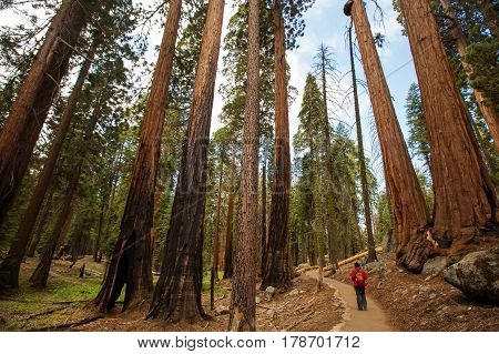 Man In Sequoia National Park In California, Usa