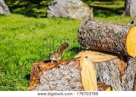 The firewood prepared for the winter. On the stump sits small squirrel. Sunny day. Forest in Pinawa Provincial Heritage Park