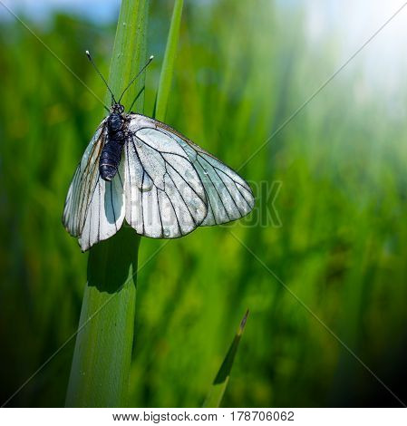 Spring nature butterfly on green grass after rain