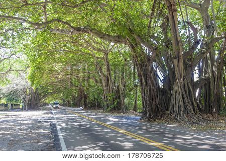 An arch of banyan trees at a street in Coral Gables. Miami Florida United States