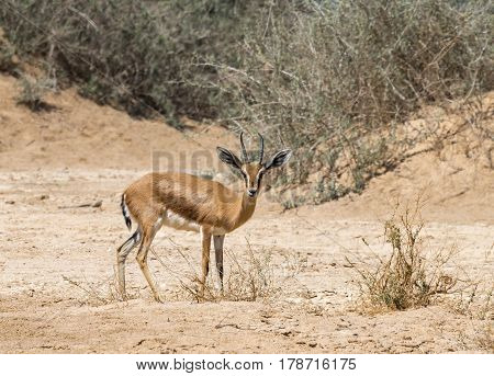 Dorcas gazelle (Gazella dorcas) inhabits nature desert reserve near Eilat, Israel Expanding human civilization in the Middle East is a major threat to populations of this species