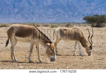 Asian wild donkey Onager (Equus hemionus) and antelope screw-horn  Addax (Addax nasomaculatus) both inhabit the nature reserve park near Eilat, Israel