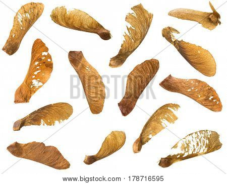 Many dried Sycamore Maple seed with natural fruit pod with wings in brown isolated on white background