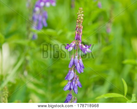 Blooming Fodder or Eastern Galega Galega Orientalis in wild close-up selective focus shallow DOF.