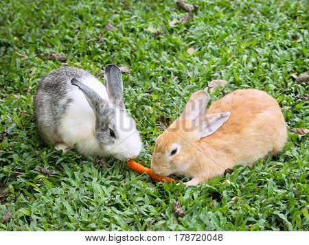 Two small rabbits in the grass sharing a piece of carrot.