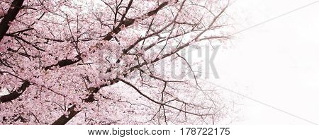 Cherry blossom in full bloom. Cherry flowers in small clusters on a cherry tree branch, fading in to white.