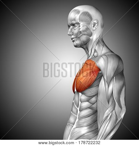 Concept or conceptual 3D illustration chest human anatomy or anatomical and muscle on gray background