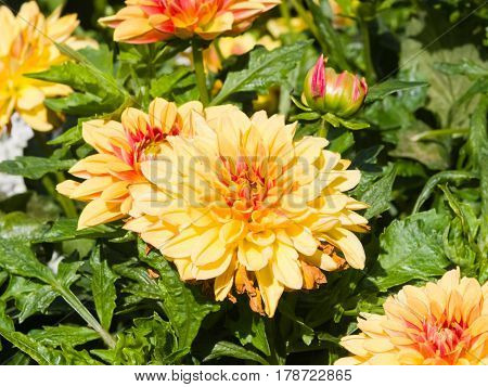 Red and yellow decorative dahlia flowers at flowerbed close-up selective focus shallow DOF.