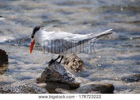 Royal tern bird with an orange beak balanced on a rock.