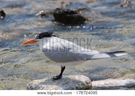 Royal tern bird balancing on a rock in the ocean.