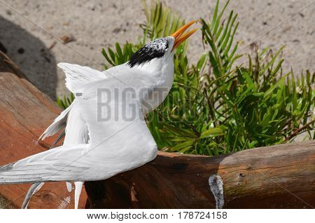 Royal tern squawking while standing on a fallen log.