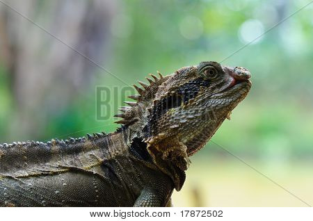 Eastern Water Dragon Lizard