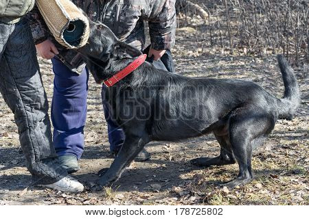 Belgian Shepherd Groenendael Attacks And Bites During The Training Course