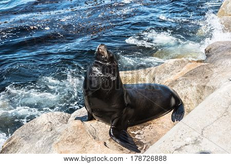 Sea lion on the rock in Monterey, California