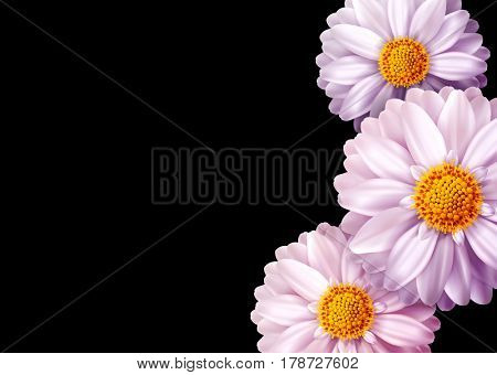 Pink  flowers isolated on black background. Element for a floral, festive design. Greeting card, invitation card