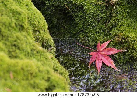 Red maple leaf fallling on the green moss background