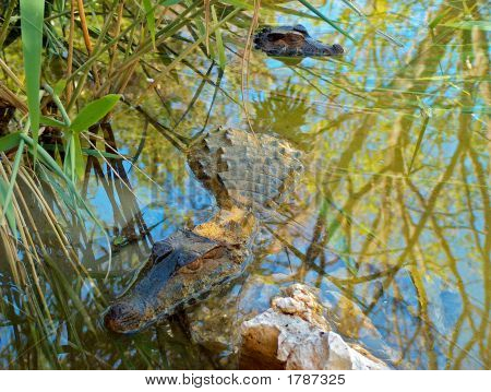 two crocodiles submerged in water reflecting the jungle above poster