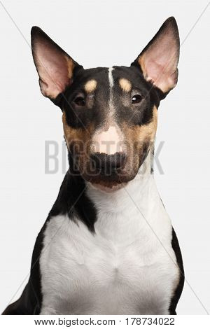 Portrait of Gorgeous Bull Terrier Dog Looking in camera on isolated White background, front view