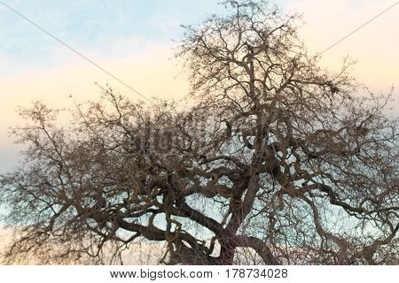 In San Jose park, a gnarled oak tree has blue sky and clouds in background