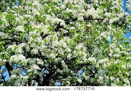 Blossoming white cherry flowers in spring time