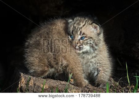 Bobcat Kittens (Lynx rufus) Back and Front - captive animals