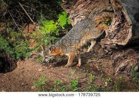 Grey Fox Vixen (Urocyon cinereoargenteus) Climbs Out of Log - captive animal
