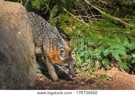 Grey Fox Vixen (Urocyon cinereoargenteus) Nose to Ground - captive animal