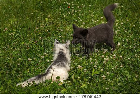 Marble and Silver Fox (Vulpes vulpes) Face Off in the Grass - captive animals