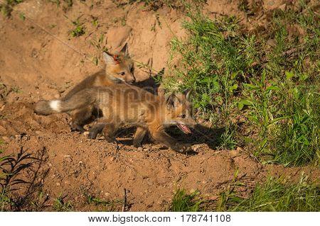 Two Red Fox Kits (Vulpes vulpes) Run Right - captive animals