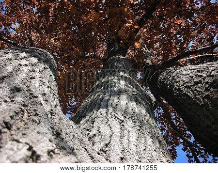 Underneath the Triple Oak Tree in the Autumn.