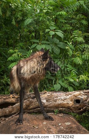 Black Phase Grey Wolf (Canis lupus) Over Log Looks Right - captive animal