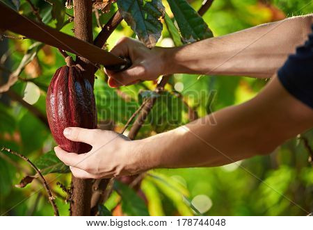 Cutting Cocoa Fruit