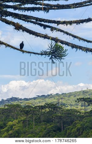 Vulture At An Araucaria Angustifolia Forest At Itaimbezinho Canyon