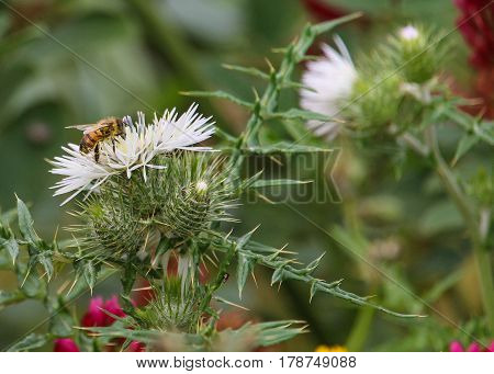A honey-bee busy collecting pollen from flowering thistle