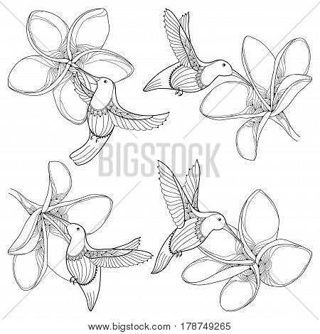 Vector set with flying Hummingbird or Colibri and Plumeria flower in contour style isolated on white background. Outline tropical bird with Frangipani for summer design and adult coloring book.