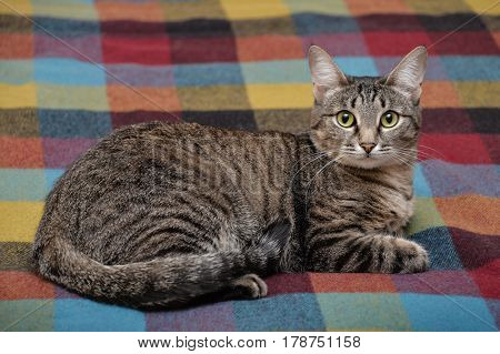 Tabby cat laying down on colorful blanket