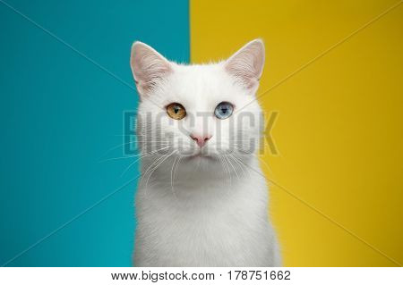 Portrait of Pure White Cat with odd eyes Looking in camera on bright Blue and Yellow Background, front view