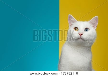 Portrait of Pure White Cat with odd eyes curious looking up on bright Blue and Yellow Background, front view